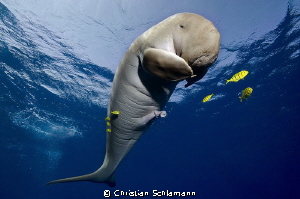 Happy Moment - in the Red Sea with a Dugong south of Port... by Christian Schlamann